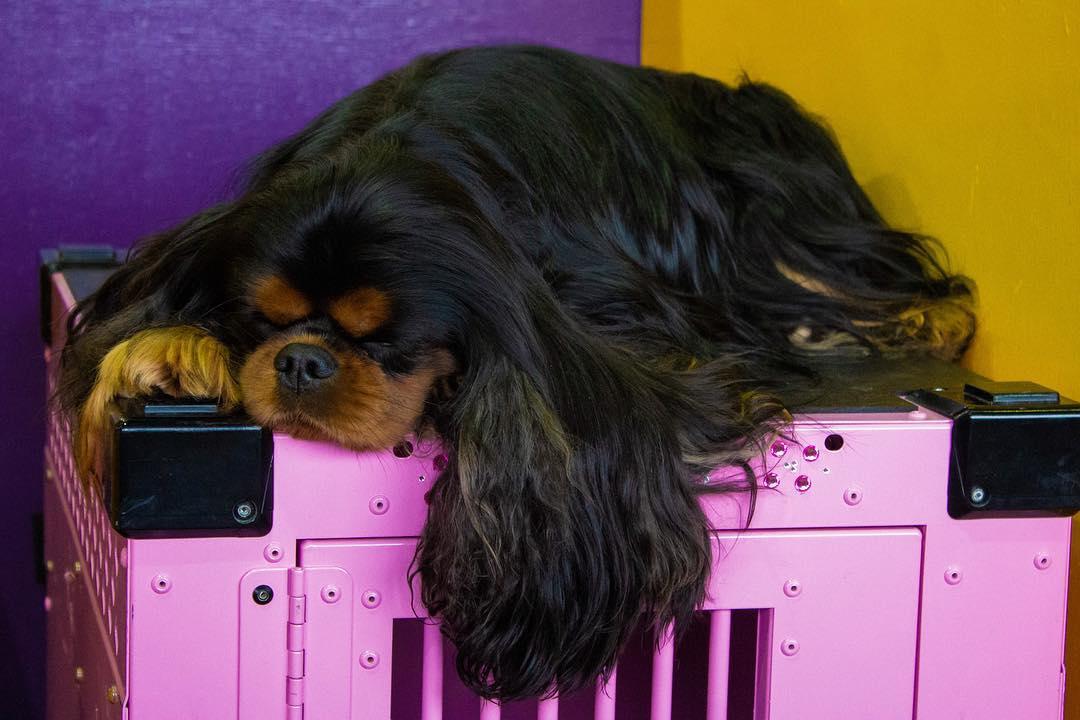 """""""Westminster Dog Show"""" by Courtney Bernardo"""